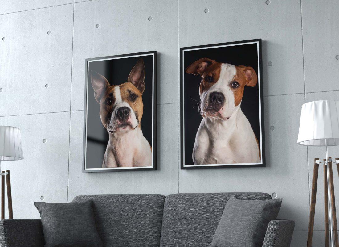 De Hondenfotograaf Nijmegen, Stafford