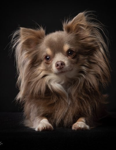 Chihuahua, honden fotoshoot
