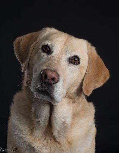 Labrador, honden fotoshoot