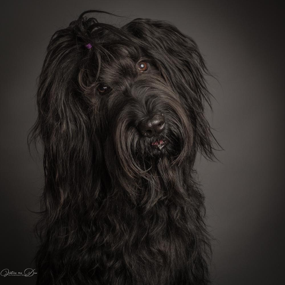 Briard, honden fotoshoot