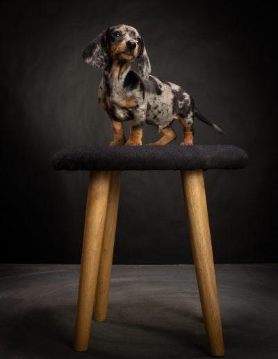 Teckel, De Hondenfotograaf Nijmegen