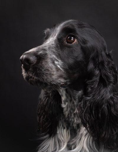 Cocker Spaniel, De Hondenfotograaf Nijmegen