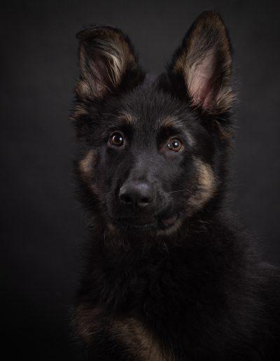 Oud Duitse herder pup, De Hondenfotograaf Nijmegen