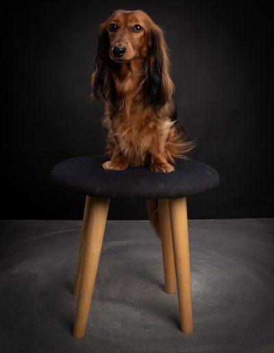 Teckel langhaar, De Hondenfotograaf Nijmegen