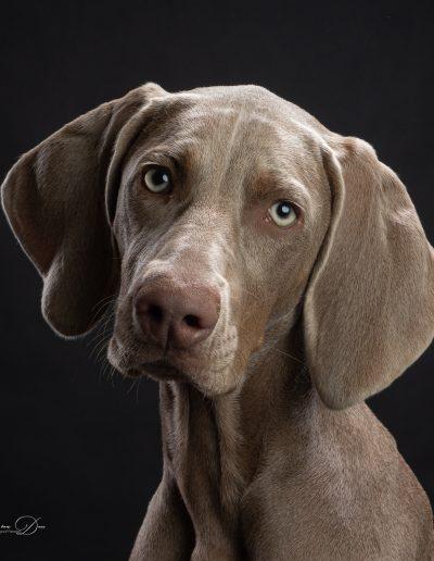 Weimaraner pup, De Hondenfotograaf Nijmegen